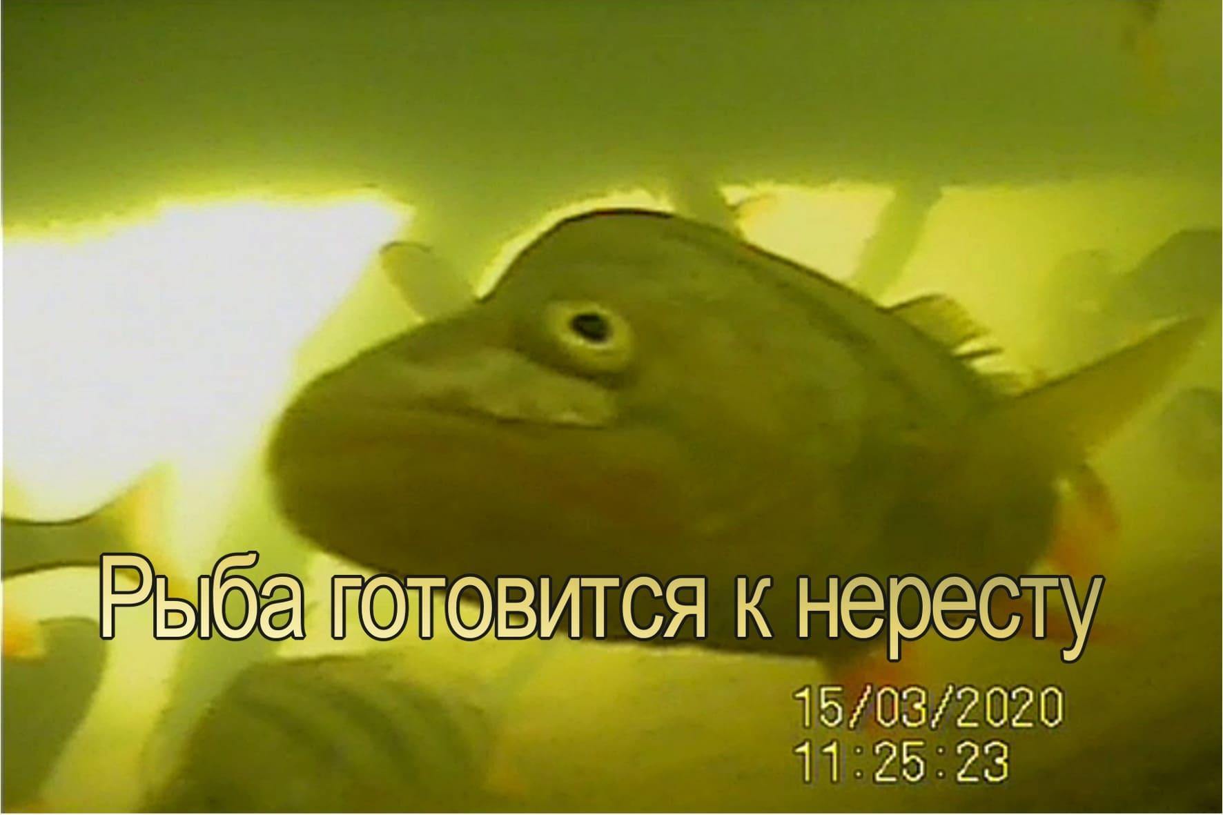 Рыба готовится к нересту.